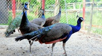 """Tròn mắt ngắm hàng trăm cá thể chim quý của """"vua chim"""" đất Hà Thành"""