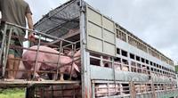 Vì sao Campuchia phải đề nghị chặn việc nhập khẩu trái phép lợn sống qua biên giới?
