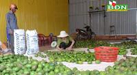 Đắk Nông: Mới vào đầu vụ hái trái bơ mà nông dân đã lo ngay ngáy, làm thế nào để bán hàng chục ngàn tấn?