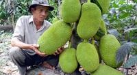 Tiền Giang: Giá mít Thái giảm mạnh, nhiều nhà vườn lo lỗ vốn