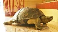 """Cực lạ Đồng Tháp: Những """"cụ"""" rùa trăm tuổi trong ngôi chùa cổ thích nghe kinh, ăn chay đặc biệt cực kì thích rau muống"""