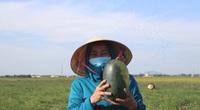 Hà Tĩnh: Cả xã gọi nhau giải cứu 30 tấn dưa hấu cho vùng dịch Covid-19 ở Thạch Hà