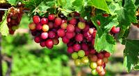 Bình Thuận: Nông dân Tuy Phong trồng giống nho mới theo hướng GAP cho năng suất chất lượng vượt trội