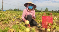 """Nghệ An: Dưa lê giá cao, tại sao nông dân ở đây vẫn """"méo mặt""""?"""