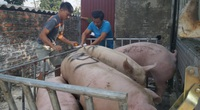 Giá thức ăn chăn nuôi tăng chóng mặt, giá heo hơi, giá gia cầm đua nhau giảm, nông dân rầu cả người