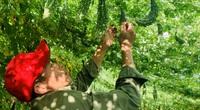 Video: Nông dân Quảng Bình bật mí chiêu đuổi sâu để vườn mướp đắng ra trĩu quả