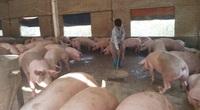 Một tháng, giá thức ăn chăn nuôi tăng 6 - 7 lần, doanh nghiệp, hộ chăn nuôi đau đầu lo giảm chi phí