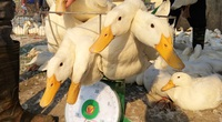 Vì sao dù được chăn nuôi an toàn sinh học mà vịt sạch vẫn bí đầu ra?