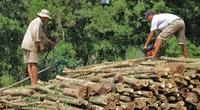 Cà Mau: Giá gỗ rớt thảm, không ai mua khiến người trồng rừng lao đao, mọi dự định cũng dở dang theo