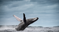 Trải nghiệm đáng sợ của người đàn ông bị cá voi nuốt chửng