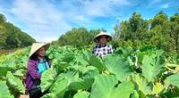 Cà Mau: Nông dân trồng thứ cây gì tốt um trên bờ vuông tôm, đào lên hàng tấn củ, thu cả trăm triệu?