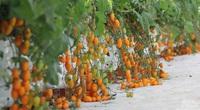Trồng cà chua Nova theo hướng hữu cơ thu trăm triệu mỗi tháng