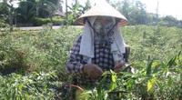 Vì sao Trung Quốc yêu cầu Việt Nam phải đáp ứng 1 trong 2 điều kiện này mới nhập khẩu ớt?