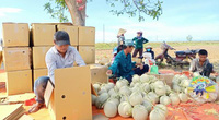 Quảng Ngãi: Chẳng cần nhà kính, nông dân trồng dưa lưới ngoài đồng dãi dầu mưa nắng mà trái quá trời
