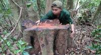 Khởi tố hình sự vụ rừng bị phá tan hoang, lâm tặc rầm rộ vận chuyển gỗ lậu xuống núi