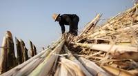 Thái Lan đã can thiệp nghiêm trọng vào thị trường mía đường như thế nào?