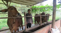 Bà Rịa-Vũng Tàu: Vay vốn nhỏ nuôi bò to, mỗi lứa thu nửa tỷ đồng