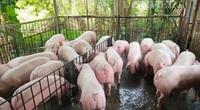"""Giá lợn hơi đồng loạt giảm 4.000-6.000 đồng/kg, người chăn nuôi """"méo mặt"""", thua lỗ cận kề"""