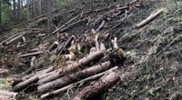 Hiện trường hàng chục cây thông 3 lá nhiều năm tuổi bị cưa hạ, cắt khúc để chiếm đất