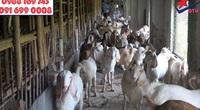 Trang trại dê DTH FARMT tiếp sức giúp dân Thanh Hóa làm giàu từ con đặc sản