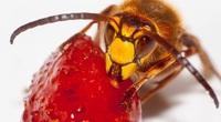 Ong bắp cày Châu Á cực kỳ nguy hiểm được phát hiện ở Washington