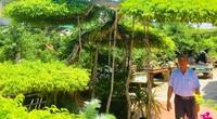 """Chiêm ngưỡng cây sanh dáng long """"độc nhất vô nhị"""" trị giá tiền tỷ ở tỉnh Ninh Bình"""