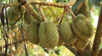 Đồng Nai: Nông dân Phú An phấn khởi mùa bội thu sầu riêng