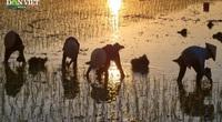 """Nắng nóng """"cua ngoi lên bờ"""", nông dân Hà Nội tìm cách chạy nắng, cấy lúa"""