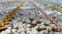 Giá gia cầm hôm nay 21/6: Giá gà công nghiệp giảm ở một số nơi, giá gà đặc sản tăng cao