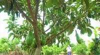 Tiền Giang: Lão nông chuyển đổi đất trồng lúa kém hiệu quả sang trồng bơ lùn siêu trái