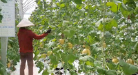Quảng Ninh: Anh nông dân trồng dưa lưới công nghệ cao cho thu về tiền tỷ mỗi năm