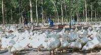 Giá gia cầm hôm nay 22/6: Giá gà công nghiệp giảm dần, giá vịt thịt miền Nam vẫn ở mức thấp