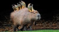 Loài chuột nặng tới 68 kg, sở hữu tốc độ 35km/h