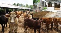 Chuyện lạ Bến Tre: Nuôi bò không phải đợi bán bò mới thu được tiền, mà bán phân bò cũng kiếm tiền triệu