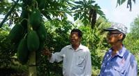Long An: Hé lộ bí quyết trồng chanh xen canh đu đủ, trái đu đủ to như trái dừa, nhiều người thích xem