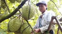 Đồng Nai: Làm cách nào để anh nông dân nâng cao giá trị 300% cho trái sầu riêng , mang về tiền tỷ?