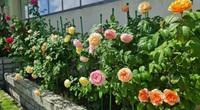 """Mê mẩn vườn hoa hồng ngoại """"vạn người mê"""" trên sân thượng của gia đình Bình Dương"""