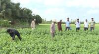 Đồng Tháp: Hiệu quả từ luân canh cây trồng ngắn ngày, nông dân Cao Lãnh tiết kiệm phân, thuốc sau vụ mè hạn mặn