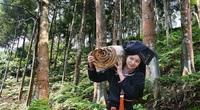 Yên Bái: Vụ này, nông dân thu lãi lớn từ nghề trồng quế