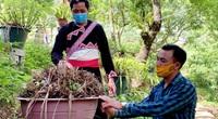 Lai Châu: Người trồng địa lan Trần Mộng mất ăn mất ngủ vì bệnh lạ trên cây