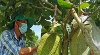 Giá mít Thái hôm nay 25/6: Mùa mưa bón phân phân gì tốt nhất cho cây mít, tại sao phải làm sạch cỏ trong vườn?
