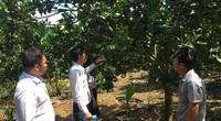 Khánh Hòa: Vay vốn trồng bưởi, nuôi bò, nhiều nông dân giàu lên, lãi tới nửa tỷ mỗi năm