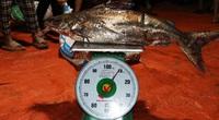 Hà Tĩnh: Hàng chục năm đi biển mới trúng mẻ cá hiếm gặp, ngư dân thu hàng trăm triệu đồng nhờ loài cá quý này