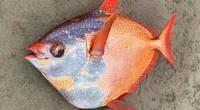 Con cá khủng - lạ- hiếm có màu sắc bắt mắt dài hơn 1m dạt vào bờ biển