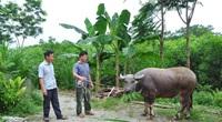 Tuyên Quang: Nông dân làm giàu nhờ nghề nuôi trâu vỗ béo