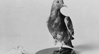 200 lính Mỹ thoát chết trong Thế chiến I nhờ... 1 con chim bồ câu