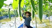 Kiên Giang: Bỏ phố về quê làm vườn, trên trồng mướp dưới trồng ớt, chị bỏ túi 300-400 ngàn đồng/ngày