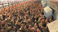 Sau 1 ngày Hà Nội giãn cách, không lấy được thức ăn,  trại gà của nông dân Phú Thọ lo... đói