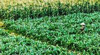 Bình Thuận: Trồng cỏ, trồng bắp cắt bán khi cây còn xanh rờn, nông dân ở đây cuối vụ cầm chắc cục tiền to