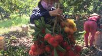 """Covid-19 Hậu Giang: Loại trái cây đặc sản chín đỏ trên cây, rụng đầy gốc, nông dân nhìn """"tiếc đứt ruột"""""""